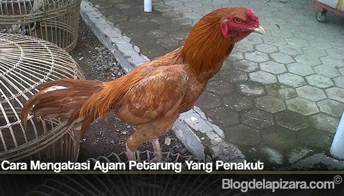 Cara Mengatasi Ayam Petarung Yang Penakut