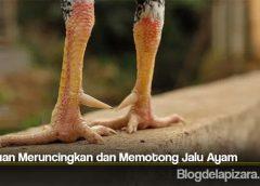 Panduan Meruncingkan dan Memotong Jalu Ayam