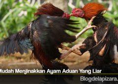 Tips Mudah Menjinakkan Ayam Aduan Yang Liar